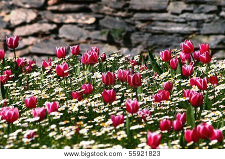 Tulip Garden In Front Of Stone Wall