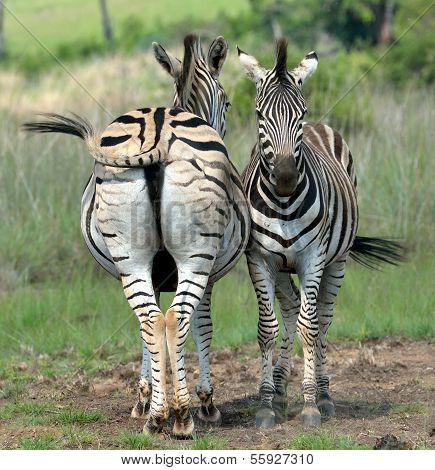 Zebra synergy