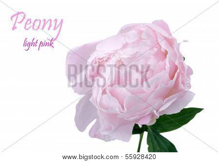 Light Pink Peony Flower