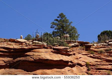 Rocky Mountain Sheep  Against Bright Blue Sky