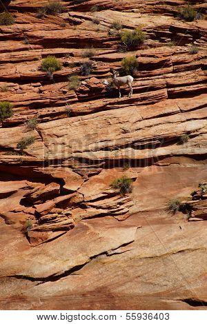 Rocky Mountain Sheep  ( Ovis Canadensis ) Climbing