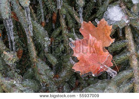 Frozen Maple Leaves in the harsh Canadian winter