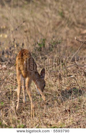 Baby Axis Deer Grazing