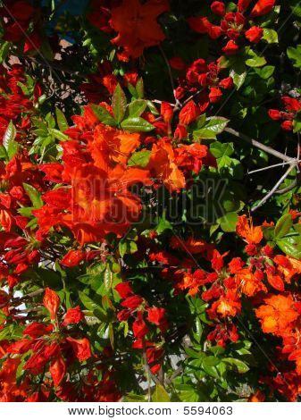 Bright Red Azalea