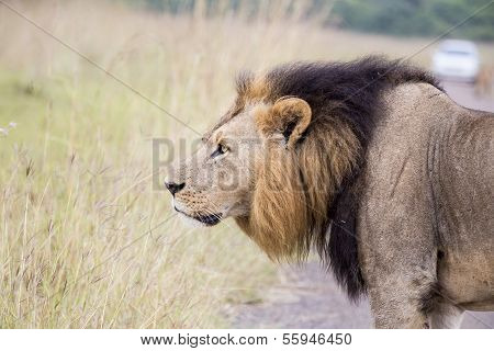 African lion in the savanna
