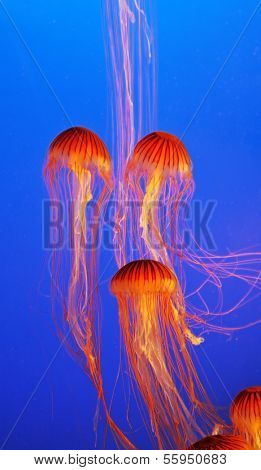 Several yellow-orange jellyfishs  with thin tentacles. Aquarium with bright blue water