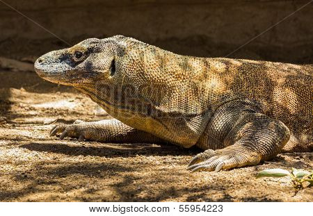Komodo Dragon Profile Of Head