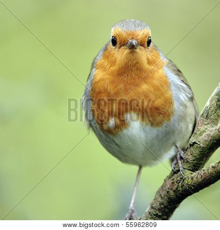 A close-up portrait of an adult European Robin (Erithacus rubecula).