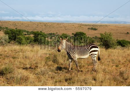Cape Mountain Zebra (equus Zebra)