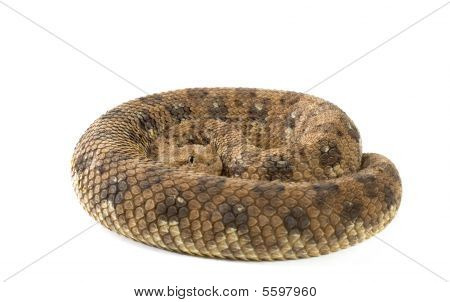 Horned Adder Poisonous Snake