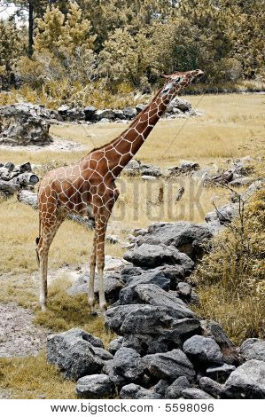 Giraffe reaching for food