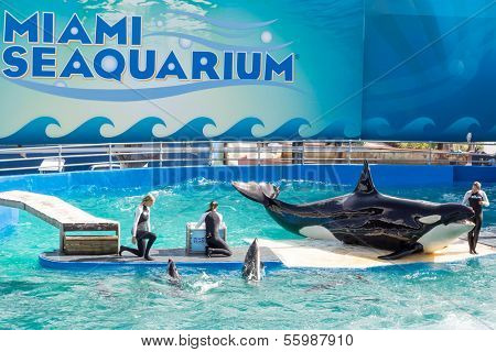 MIAMI,US - DECEMBER 8,2013: Lolita, the killer whale at the Miami Seaquarium.Founded in 1955,the oldest oceanarium in the United States,the facility receives over 500,000 visitors annually