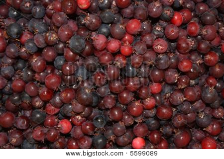 Amelanchier Rotundifolia Dum - A Lot Of Berries