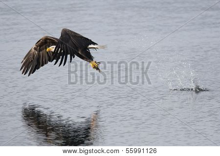 Eagle Catching A Fish.
