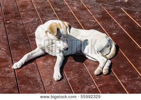 Homeless Stray Dog On Wood Floor