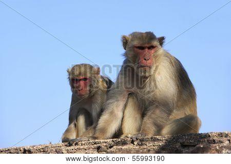 Rhesus Macaques Sitting At Taragarh Fort, Bundi, India