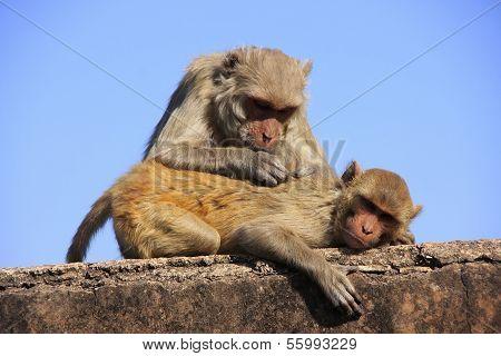 Rhesus Macaques Grooming Each Other,taragarh Fort, Bundi, India