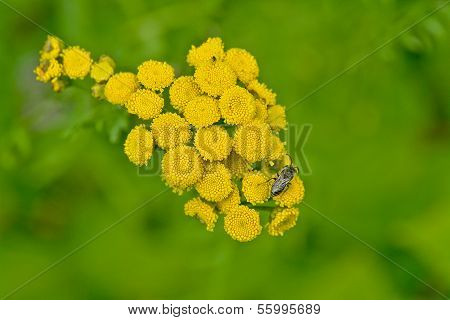 Insects On Flowers Of Tansy.