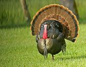 stock photo of gobbler  - Struttin gobbler in meadow at first light