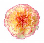 foto of carnations  - an orange yellow carnation isolated on white background - JPG