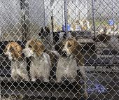 pic of foxhound  - Tan and white foxhounds in kennel Fauquier County - JPG
