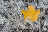 Frozen Maple Leaves in the harsh Canadian winter