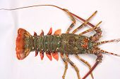 foto of lobster tail  - Fresh raw lobster tail on plate with greens - JPG