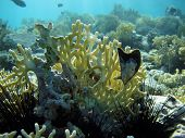 picture of fire coral  - Fire coral and Red Sea oyster on a reef - JPG