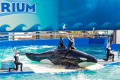 MIAMI,US - DECEMBER 8,2013: Lolita,the killer whale at the Miami Seaquarium.Founded in 1955,the olde