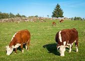 pic of hereford  - Two Hereford cows eating hay and grazing on the meadow - JPG