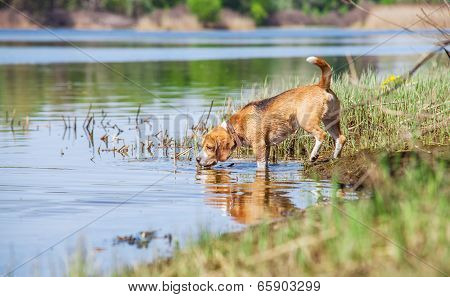 Beagle Dog On The Forest River Coast