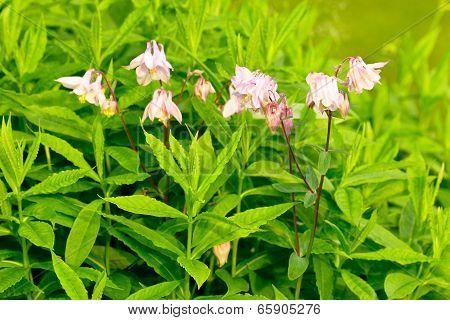 pink aquilegia
