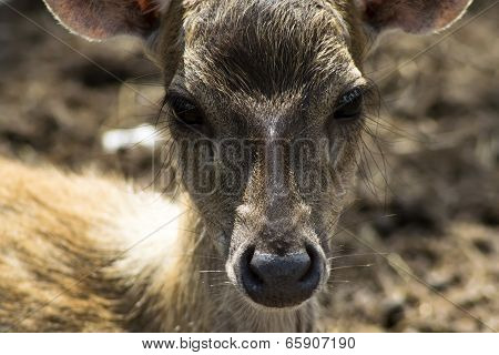 Sika Deer Kid Nose.
