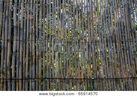 young bamboo background , an a sunny day