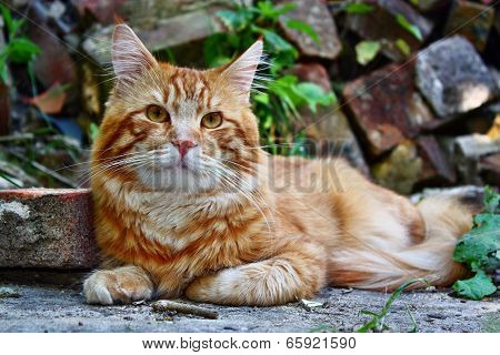Young Red Cat
