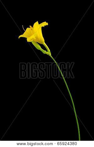 Yellow Day Lily On Dark Background