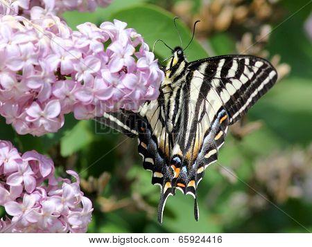 Pale Swallowtail (Papilio eurymedon) Underside