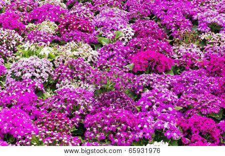 Purple cineraria