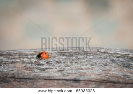 Ladybug Walking Along Weathered Old Wooden Board