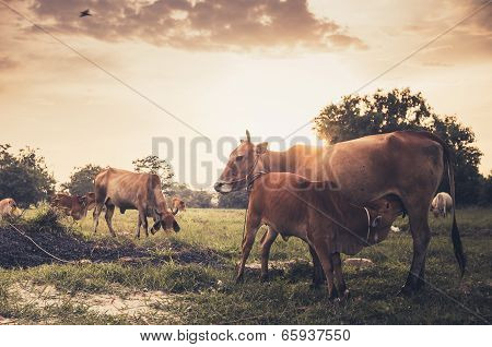 Cow On Grass Meadow Vintage