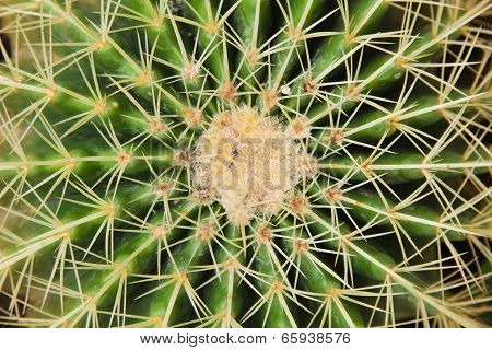 Golden Barrel Cactus.