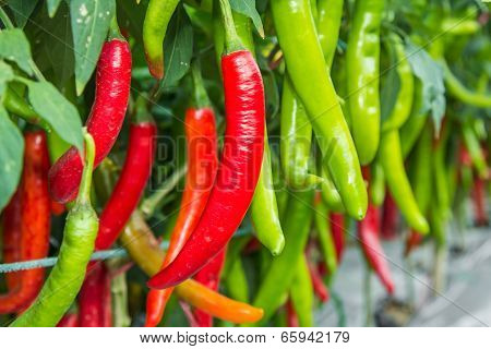 Red and Green Cayenne Pepper.