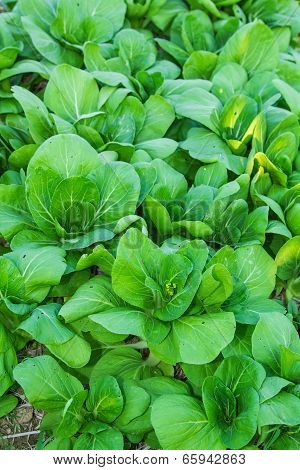 Bok choy (chinese cabbage) .