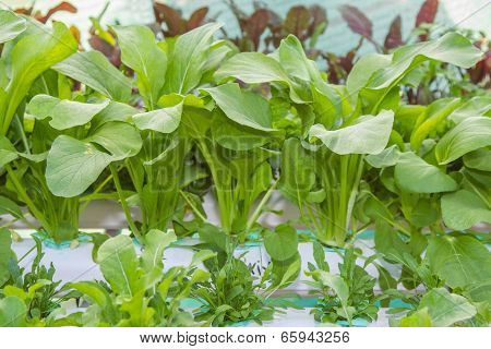 Fresh Bok Choy vegetable ,hydroponic system.