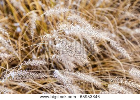 Frozen Pampa Grass In Wintertime