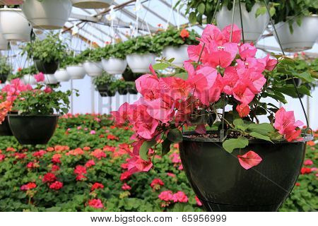 Hanging plants with bright pink flowers