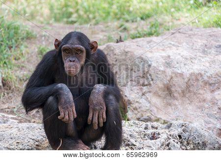 Chimpanzee Sitting On Stones