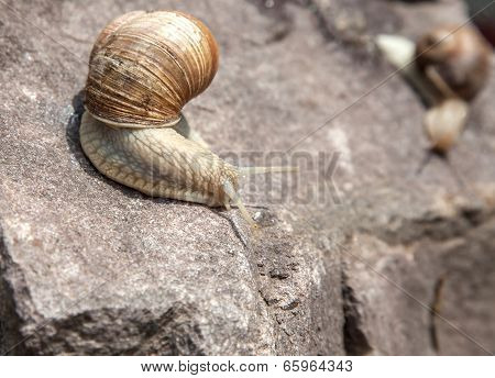 Snail Crawling Down Close-up