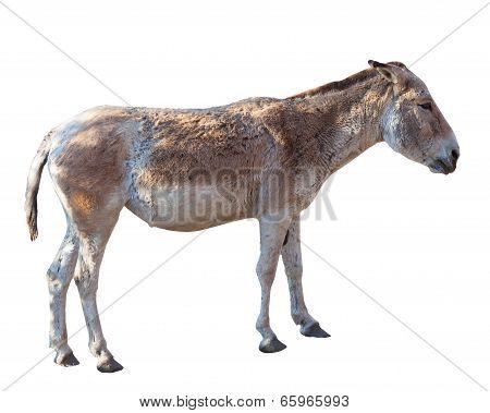 Donkey Standing Isolated