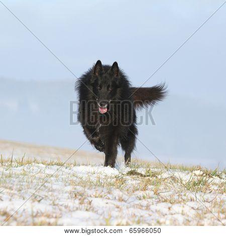 Six Years Old Groenendael Running In Winter